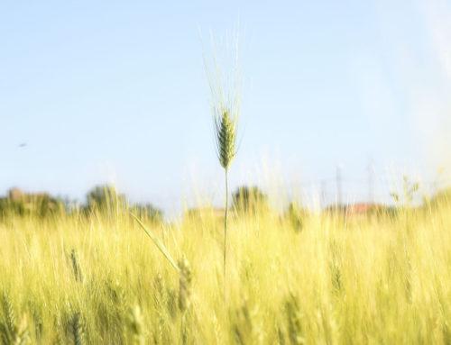 Una spiga di grano, l'emblema della rinascita
