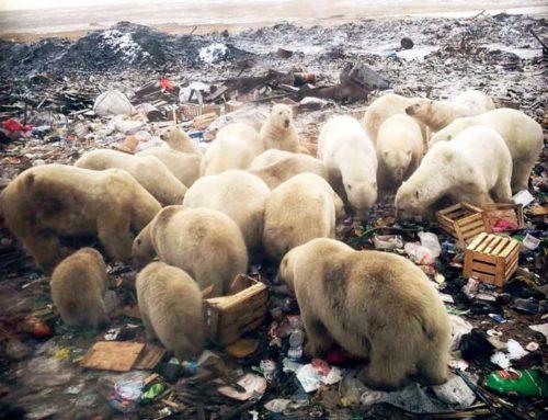 Caldo al Polo Nord, gli orsi muoiono di fame