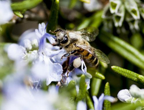Scompaiono le api e l'uomo si estinguerà