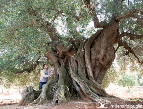 Gli ulivi millenari da ammirare in Puglia