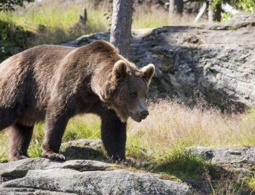 Papillon, l'orso bruno che cerca la libertà