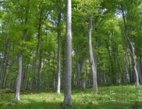 Taglio degli alberi, dietrofront del sindaco