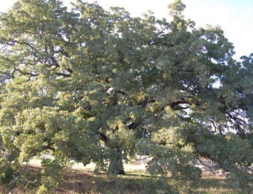 L'albero più bello è la Quercia di Tricase