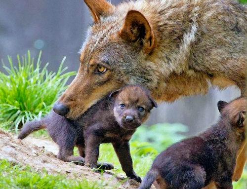 Al sicuro nella bocca di mamma lupa