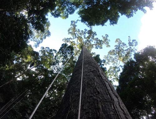 In Amazzonia alberi alti come grattacieli