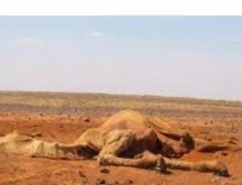 Australia, cammelli uccisi: bevono troppo