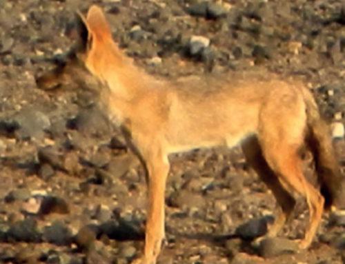Etiopia, il lupo ritrovato grazie agli italiani