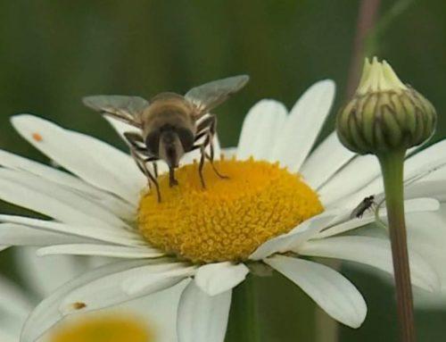 Senza le api per l'uomo solo 4 anni di sopravvivenza
