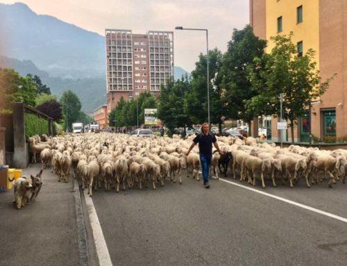 Lecco, il rito della transumanza delle pecore
