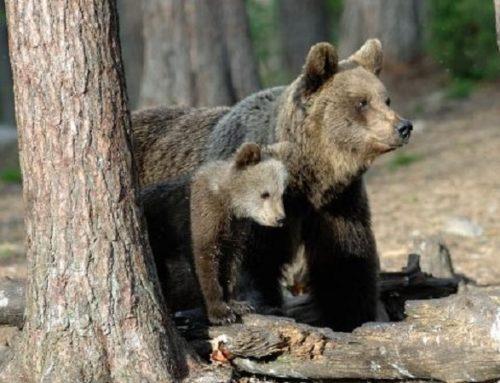 L'Italia si mobilita: non uccidete l'orsa Gaia