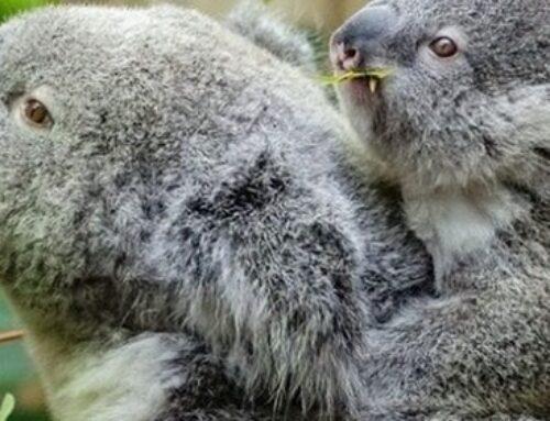 Dolce e tenero koala, ma non si può tenere in casa