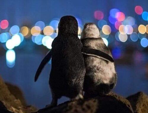 Australia, quella coppia di pinguini innamorati