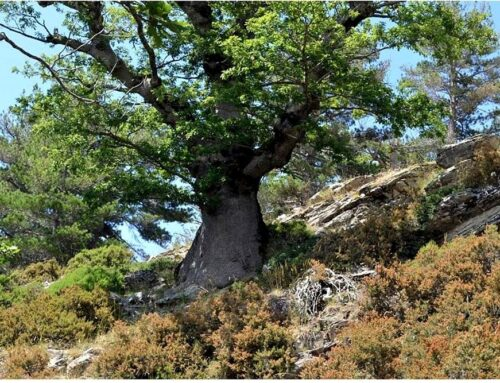In Aspromonte vive la quercia millenaria