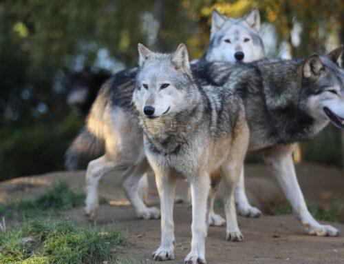 La difficile convivenza tra uomini e lupi