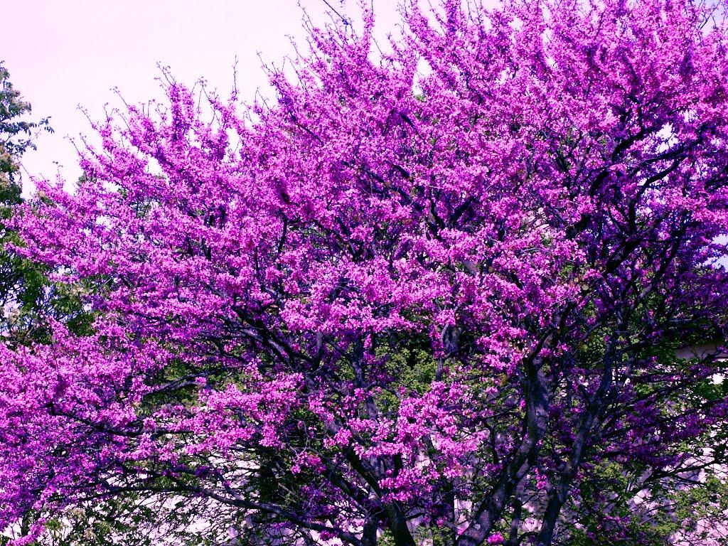 Ecco l'albero di Giuda: annuncia la primavera