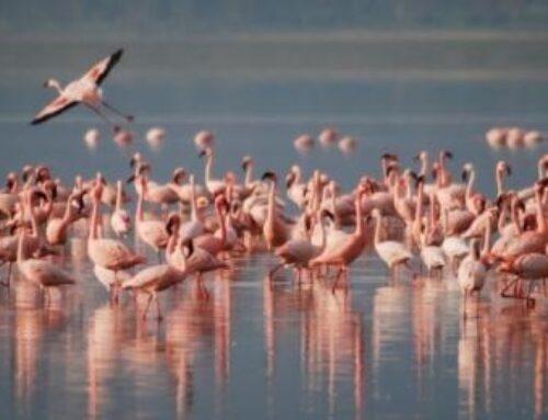 Lo splendido spettacolo dei fenicotteri rosa