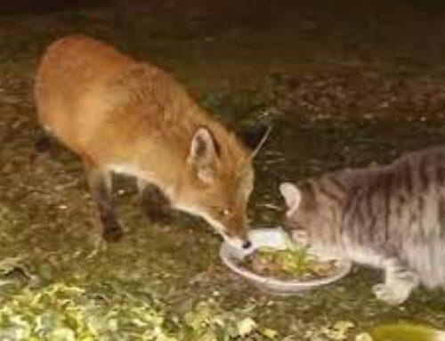 Volpe e gatto mangiano nella stessa ciotola