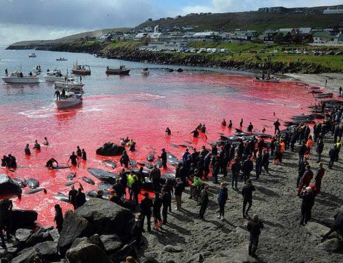 Nelle isole Far Øer mattanza di delfini
